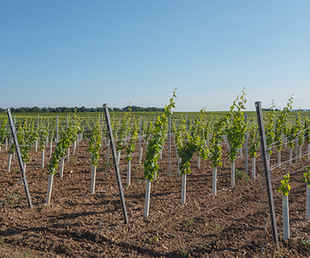 How to choose an appropriate trellis system for vineyard?
